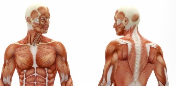 MUSCLE STRUCTURE AND CONTRACTIONS